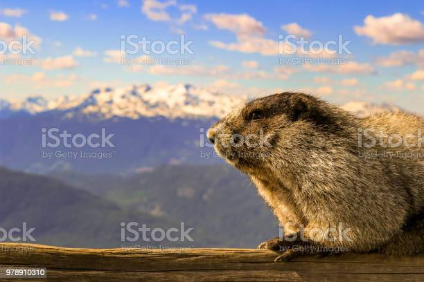 The Hoary Marmot Of Whistler British Columbia This Herbivore Thrives On Mountainous Grasses And Plants Room For Copy Space Stock Photo - Download Image Now