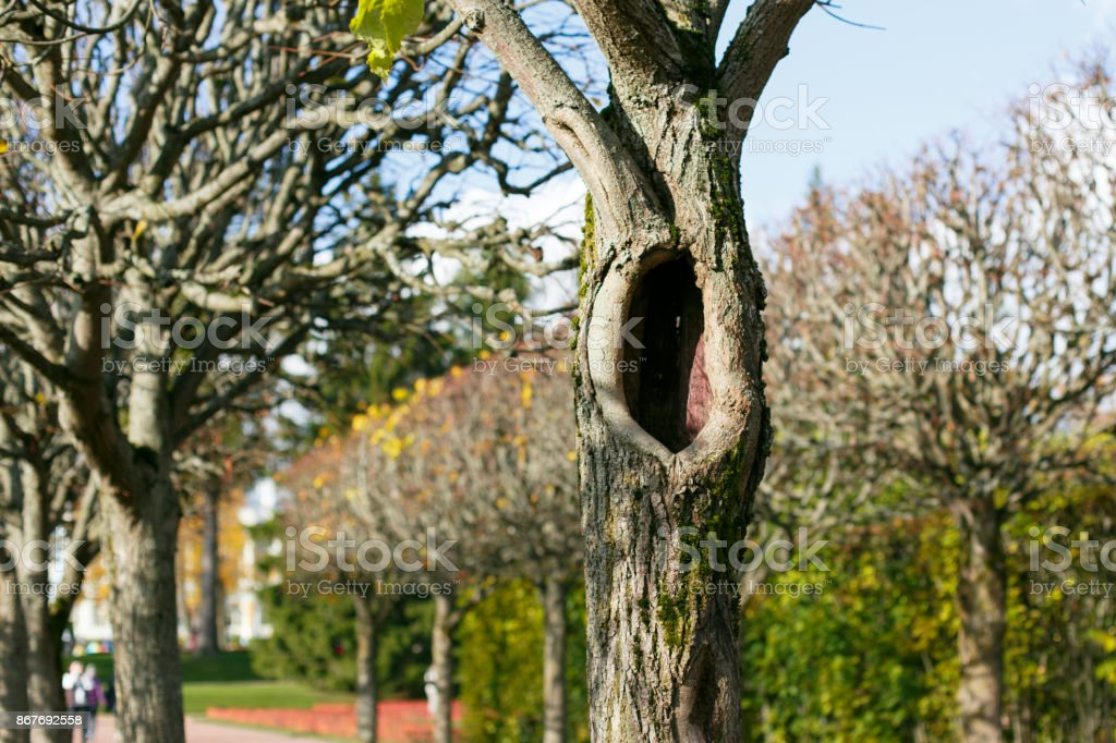 The hollow in the tree in autumnal alley stock photo