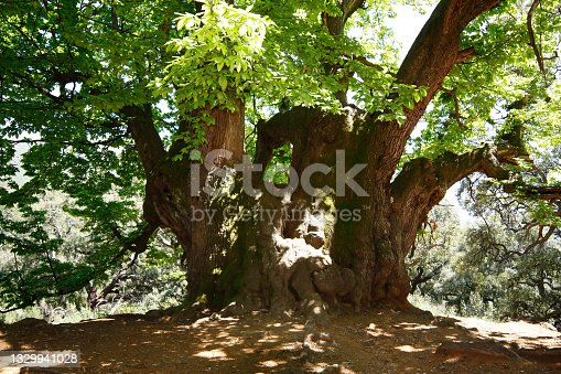 istock The holy chestnut of Istan (Castaño Santo) in the province of Malaga is a tree with more than a thousand years old, unique in its kind 1329941028