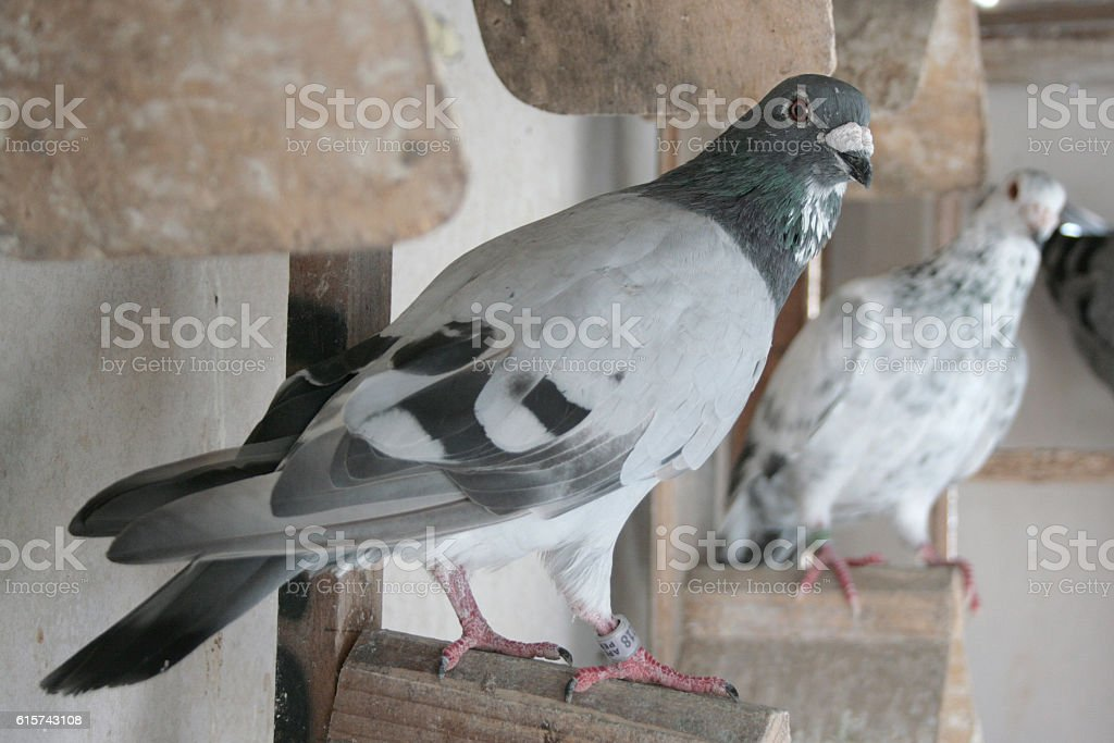The homing pingeons stock photo