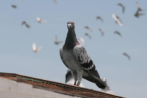 The homing pingeons – Foto