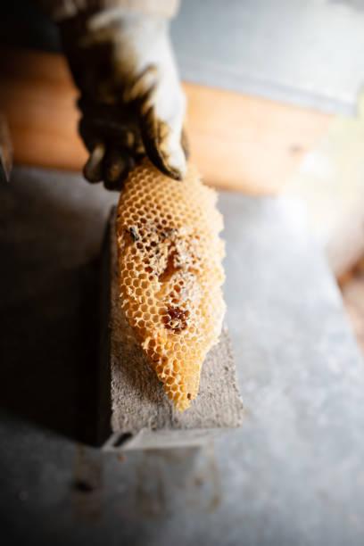 die wabe - wachsblume stock-fotos und bilder