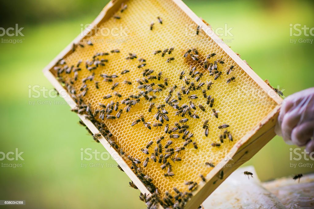 the honeycombs with honey stock photo