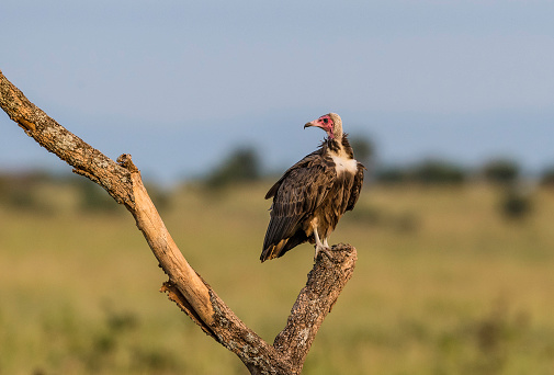 The Hooded Vulture Is An Old World Vulture In The Order Accipitriformes Tarangire National Park In Tanzania Stock Photo - Download Image Now