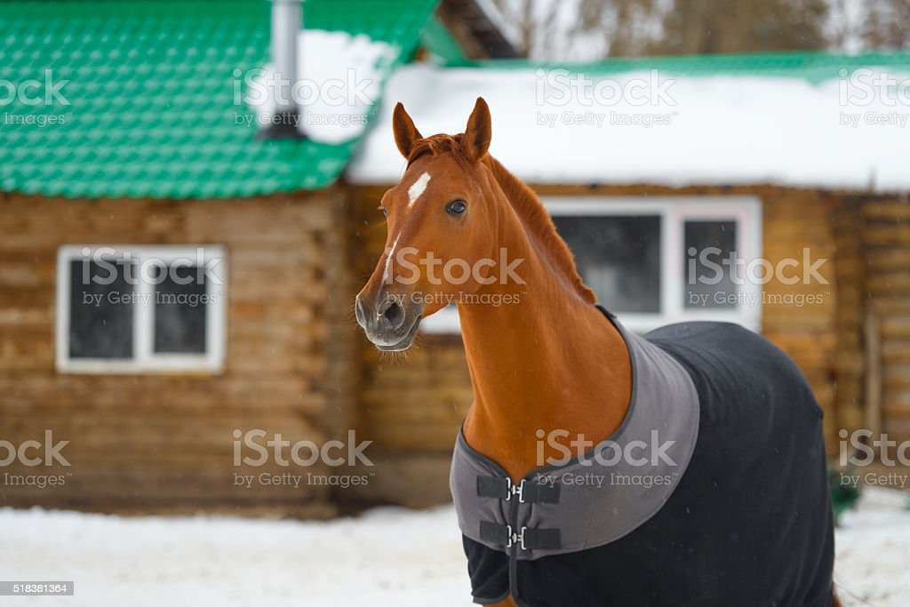 the horse in the blanket stock photo