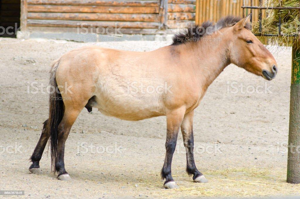 El caballo de Przewalski aviario - foto de stock