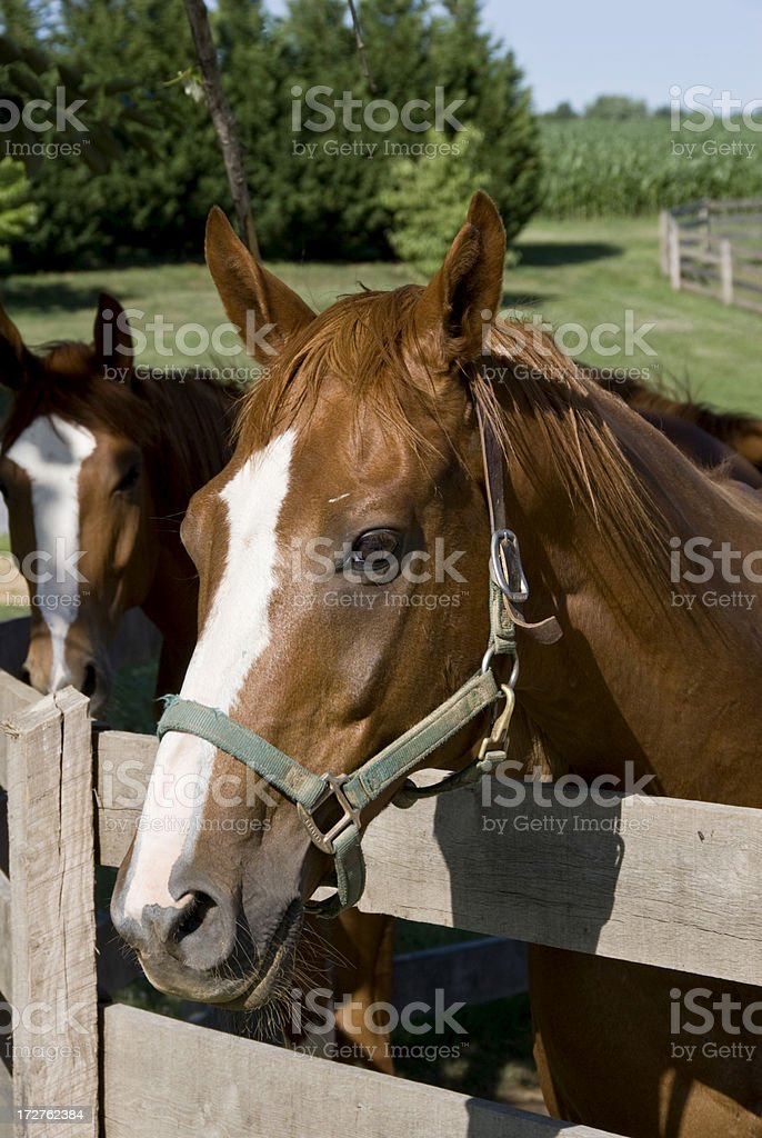The Horse With A Mona Lisa Smile royalty-free stock photo