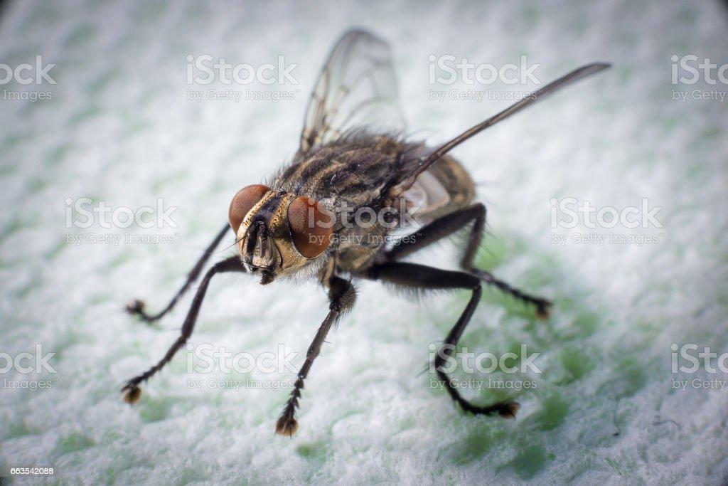 La mouche domestique - Photo