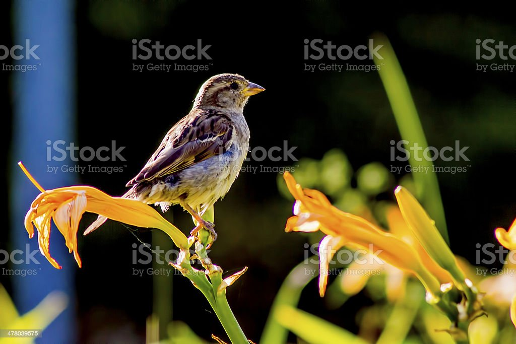 The House Sparrow (Passer domesticus) royalty-free stock photo