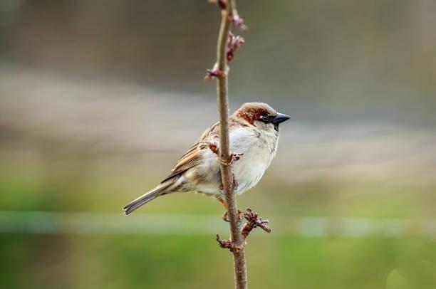 The house sparrow stock photo