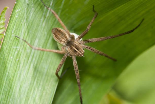 A aranha de casa engatinhando em um arbusto verde - foto de acervo