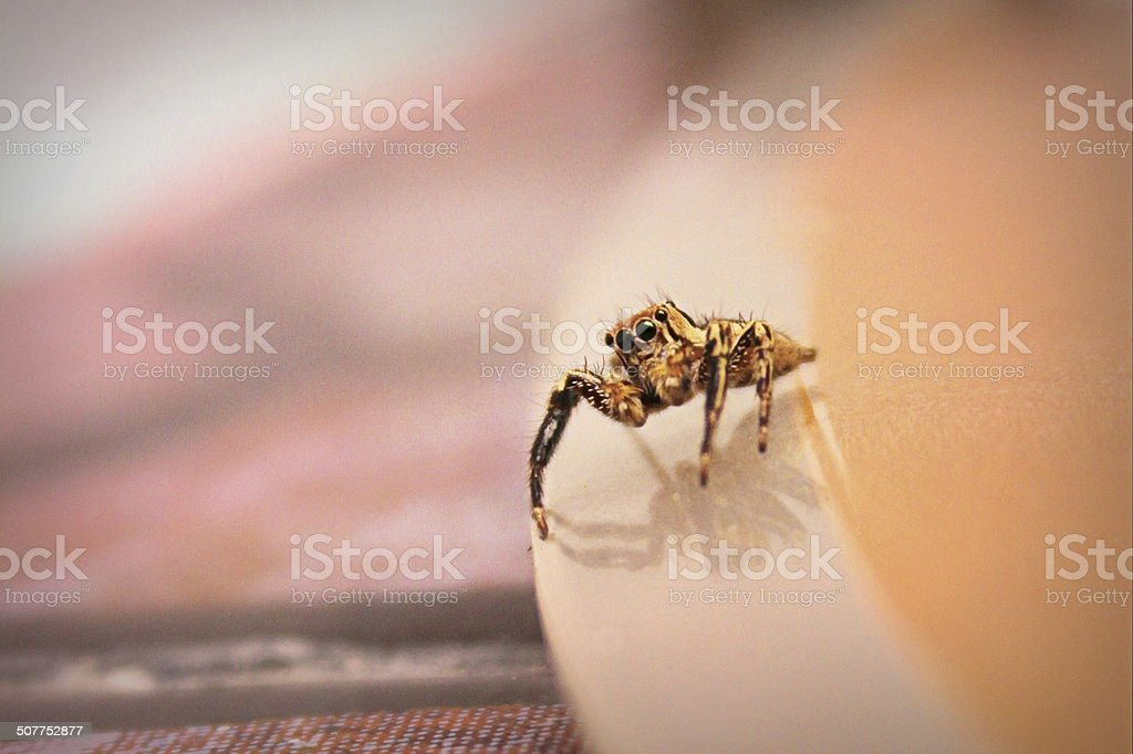 The House Spider stock photo