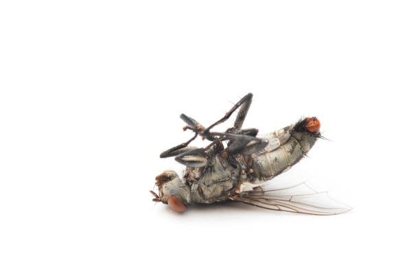 The Housefly dead on White background in Thailand and Southeast Asia. stock photo