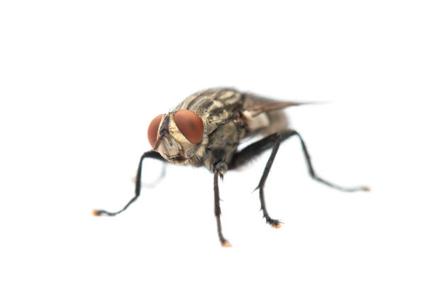 The Housefly on White background in Thailand and Southeast Asia. stock photo