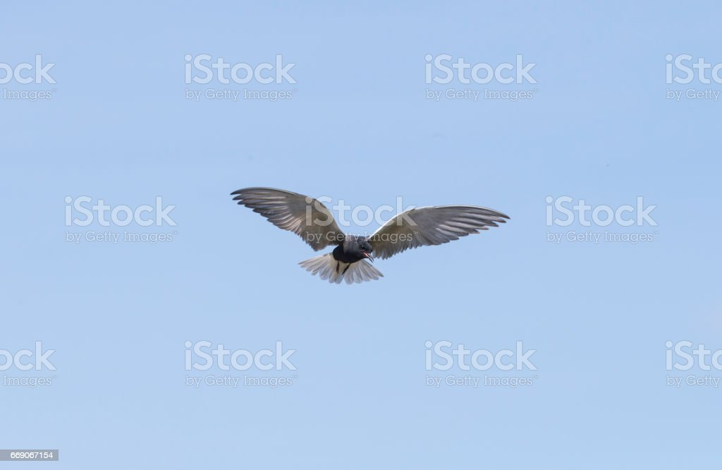 The Hover Bird stock photo