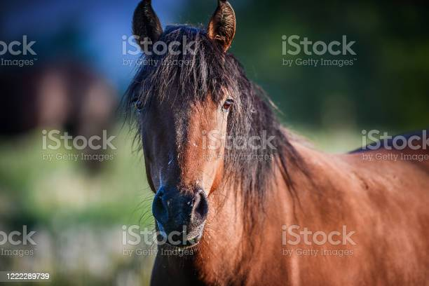 The hucul or carpathian horse is breed originally from the carpathian picture id1222289739?b=1&k=6&m=1222289739&s=612x612&h=s35i6lofi2qrnodoplzn7m2hsfwslzzsusuwjr60x4g=