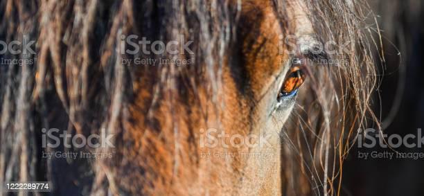 The hucul or carpathian horse is breed originally from the carpathian picture id1222289774?b=1&k=6&m=1222289774&s=612x612&h=oti1xzfd1cccm1i1neohcdgixom2yth9j01jmmw 64i=