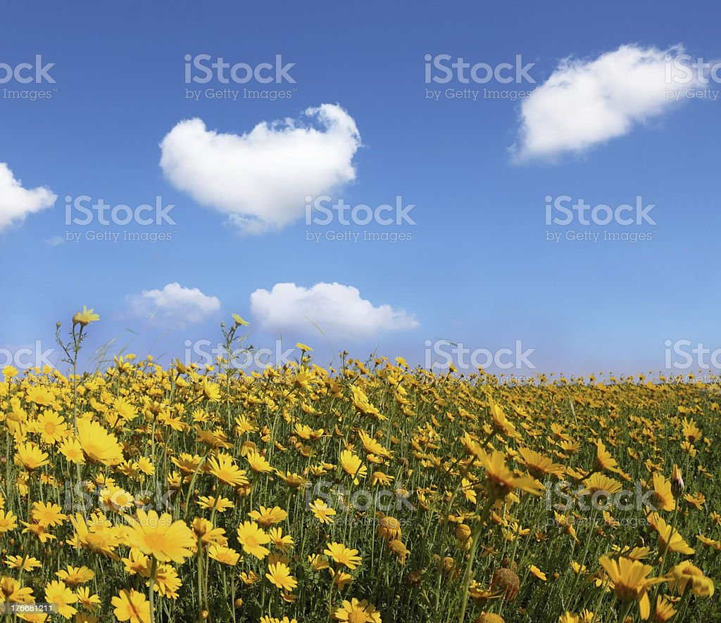 The huge field with big yellow flowers royalty-free stock photo