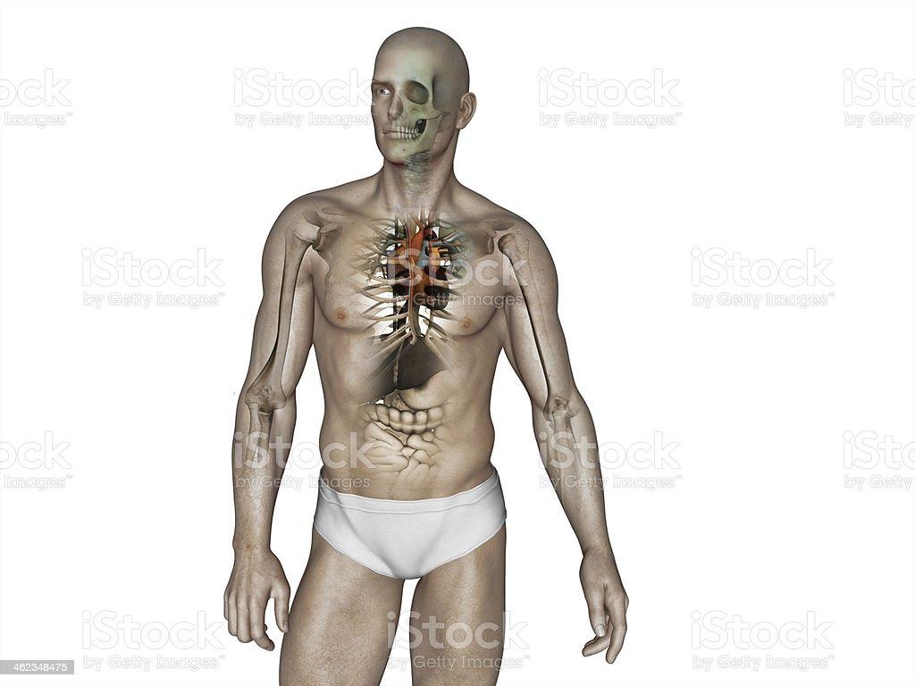 El Cuerpo Humano Anatomía - Stock Foto e Imagen de Stock | iStock