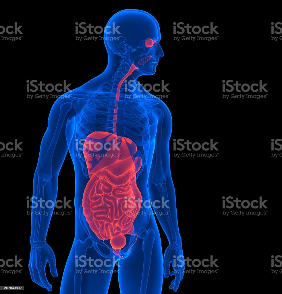 The Human Body Render Of A Internal Organs Clipping Path Stock Photo