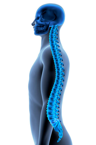 The Human Body - Spine The Human Body - Spine. Side View. X-ray Effect. 3D illustration spine body part stock pictures, royalty-free photos & images