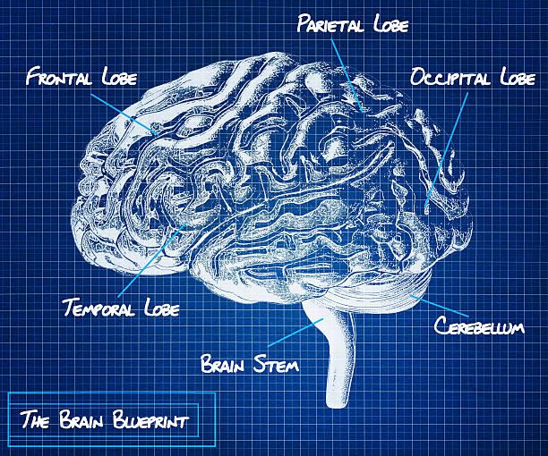 The human brain blueprint. stock photo