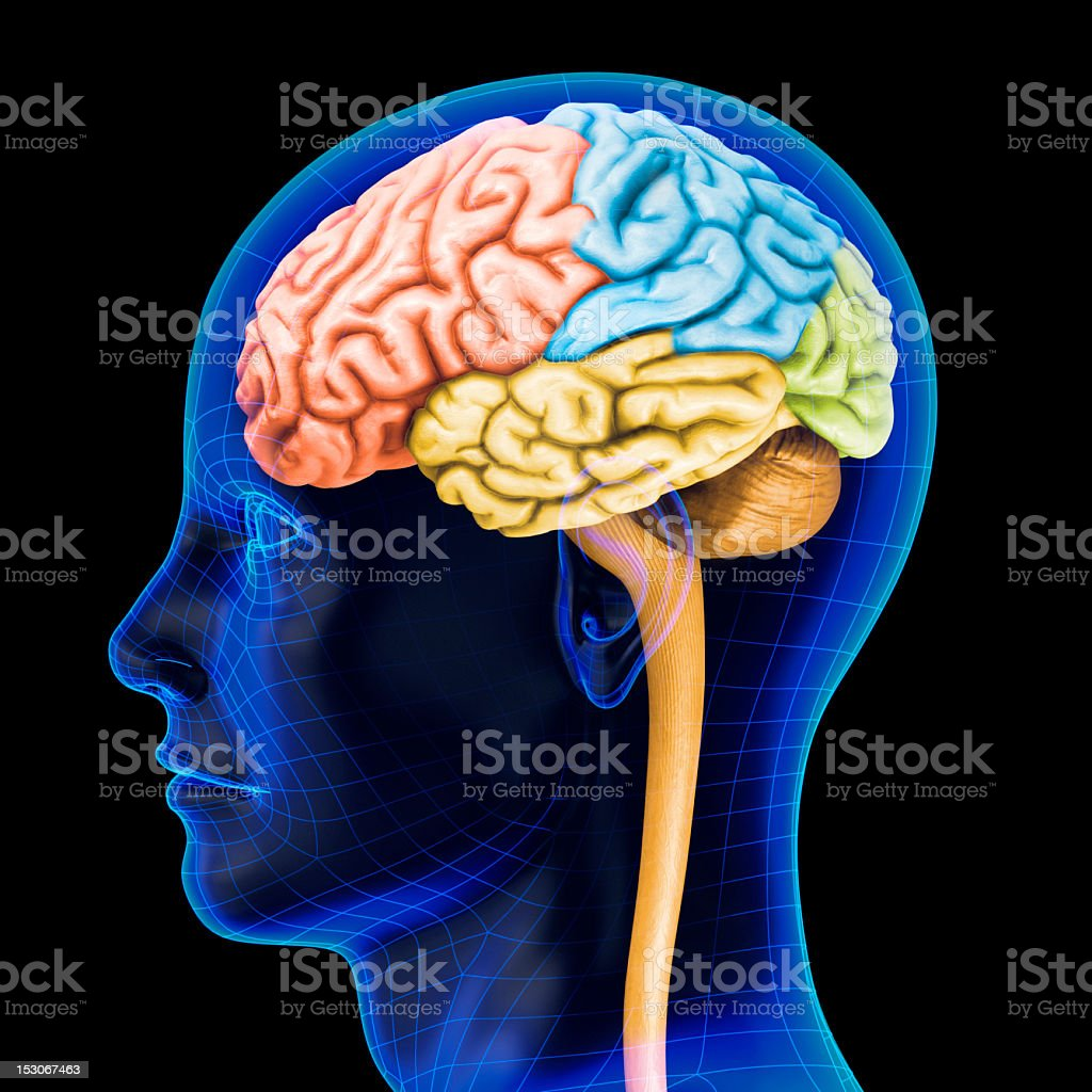 The human brain royalty-free stock photo