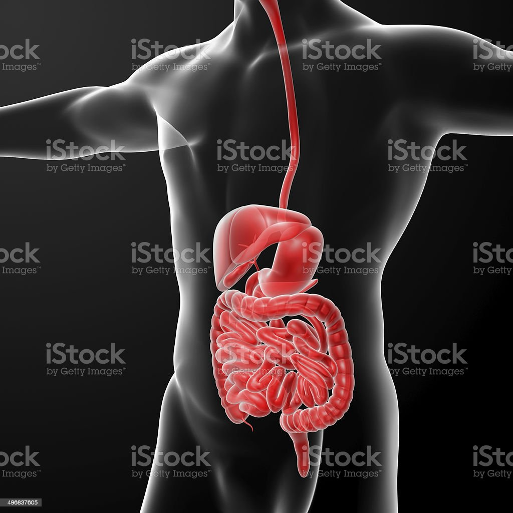 The human digestive system stock photo