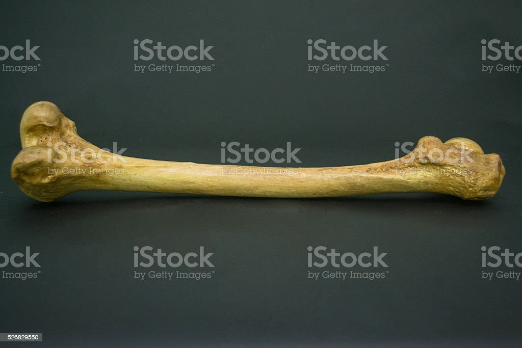 The Human Femur stock photo