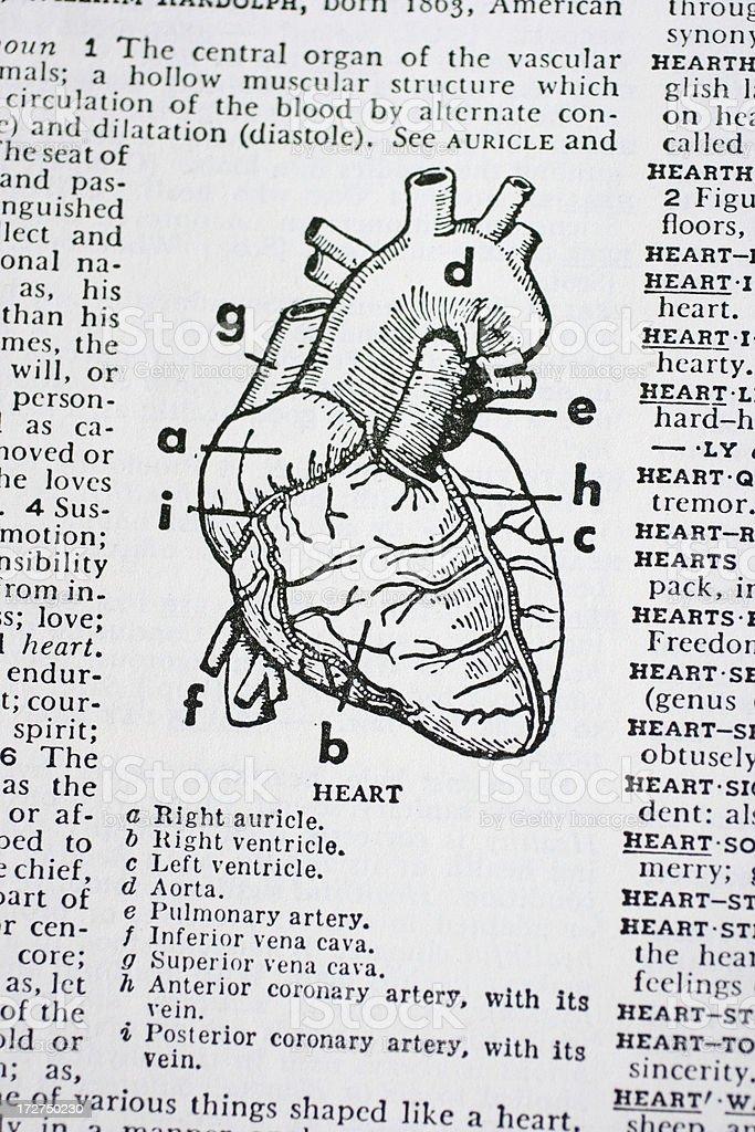 The human heart illustration stock photo