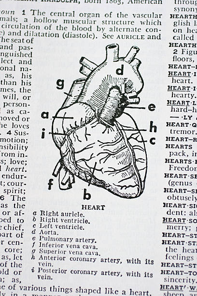 the human heart illustration - medical diagrams stock pictures, royalty-free photos & images