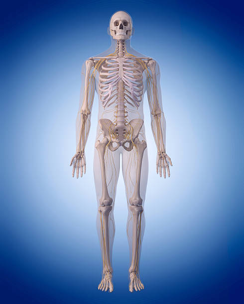 the human nervous system medically accurate illustration of the human nervous system intercostal space stock pictures, royalty-free photos & images