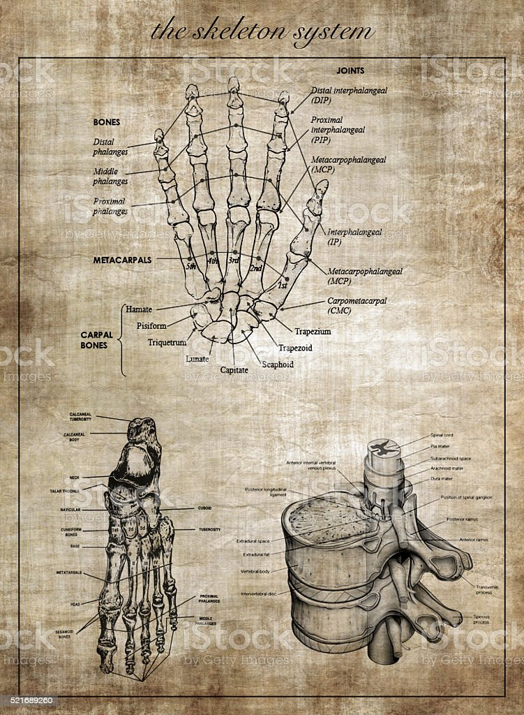 The human skeleton system, part of body stock photo