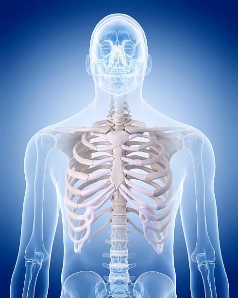 le squelette humain-la cage thoracique - sternum photos et images de collection
