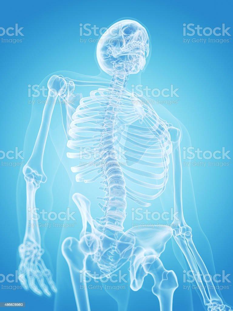 Das Menschliche Skelettthorax Stock-Fotografie und mehr Bilder von ...