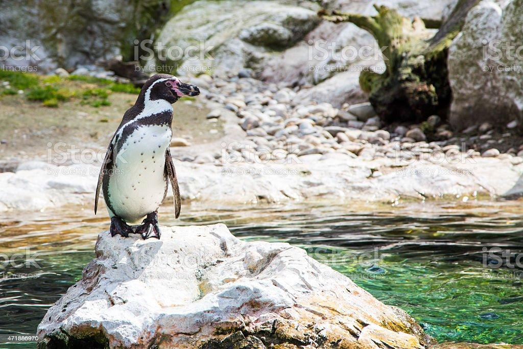 The Humboldt or Peruvian Penguin stock photo