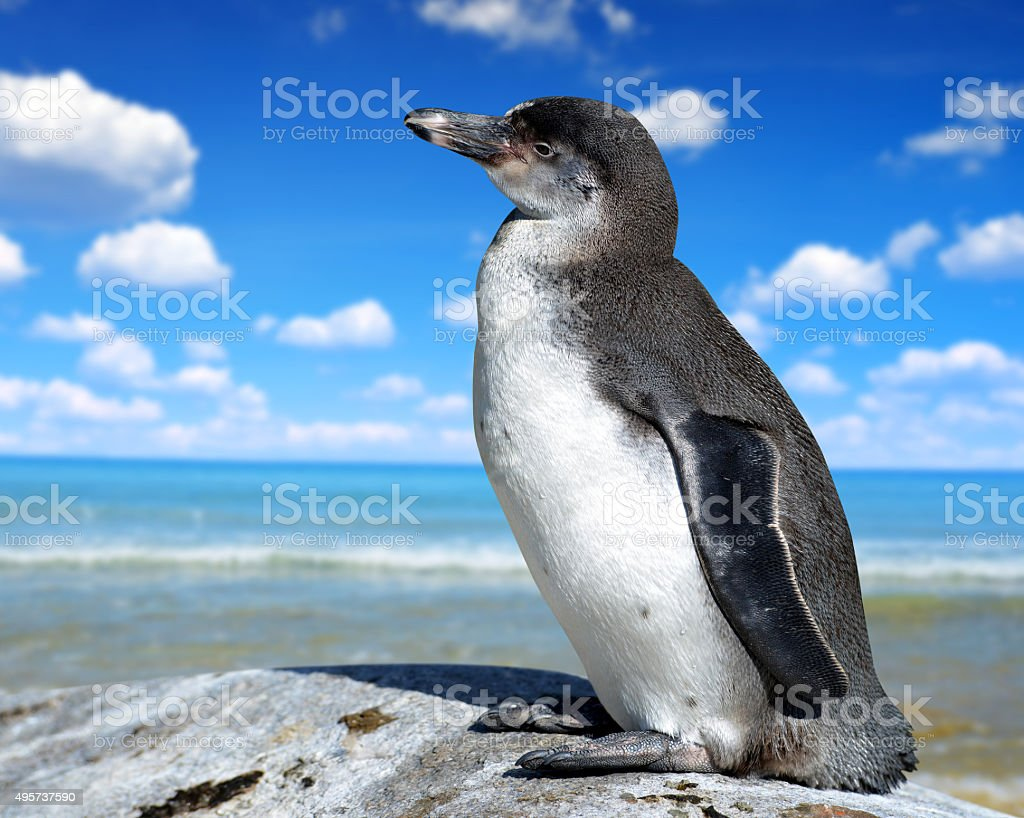 The Humboldt Penguin stock photo