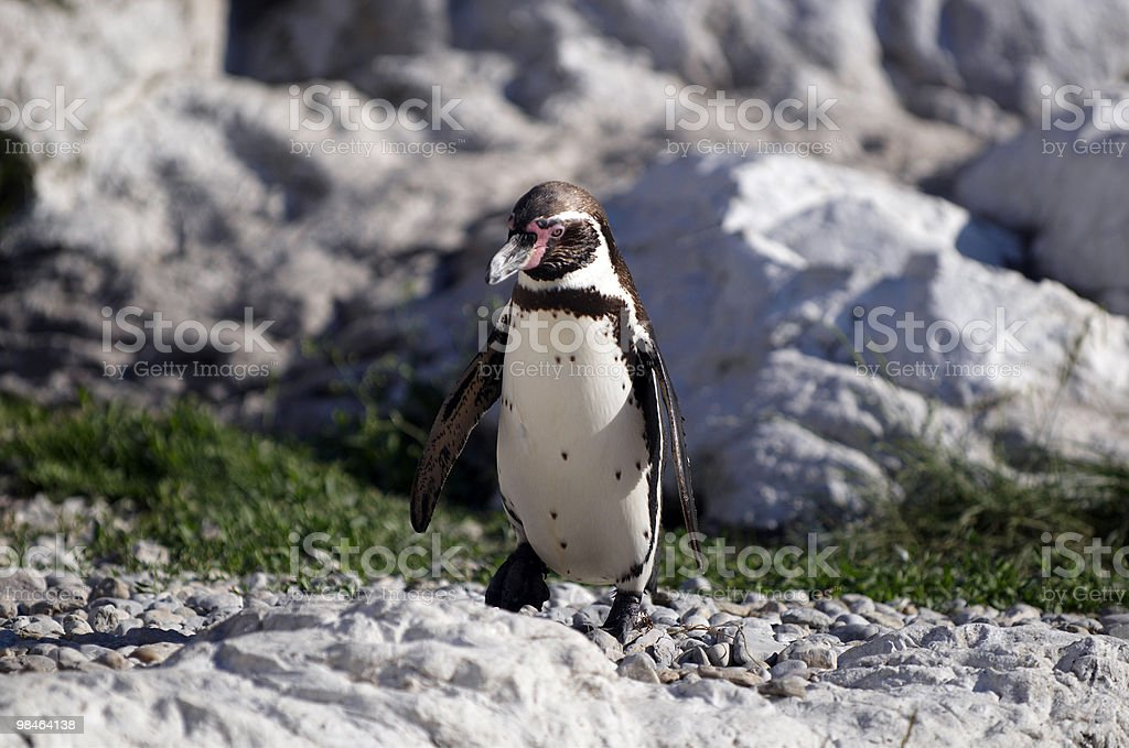 The Humboldt Penguin royalty-free stock photo