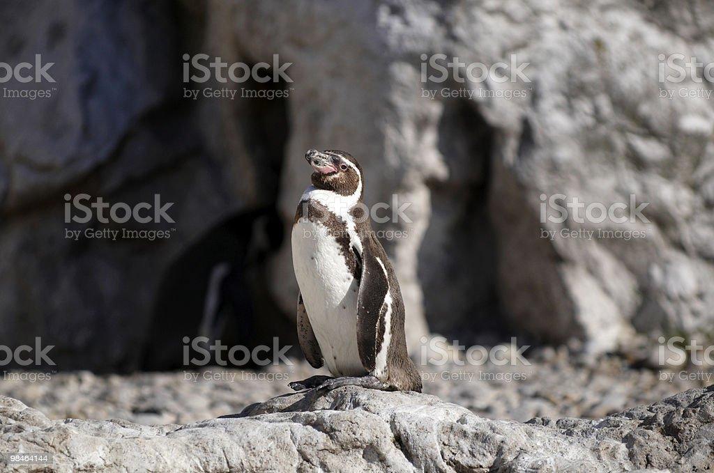 Il Pinguino di Humboldt foto stock royalty-free
