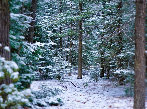 The Huron National Forest in the winter