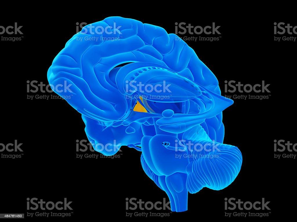 The hypothalamus stock photo