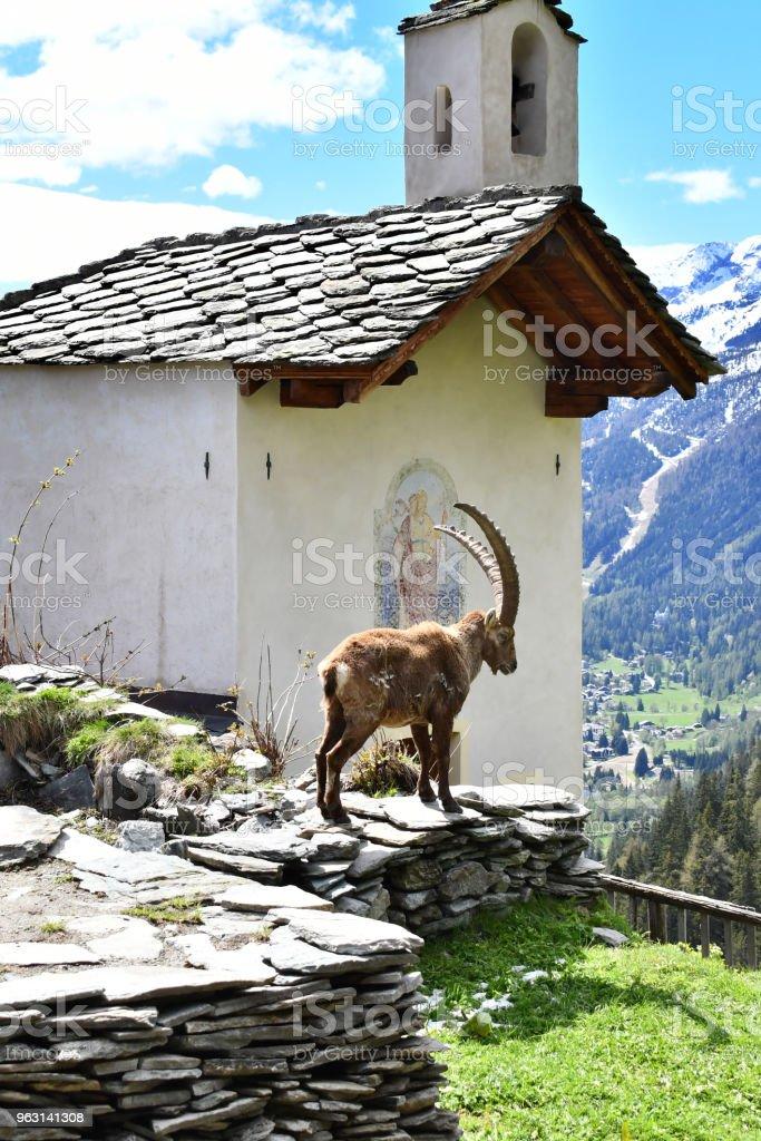 Stenbock. - Royaltyfri Alperna Bildbanksbilder