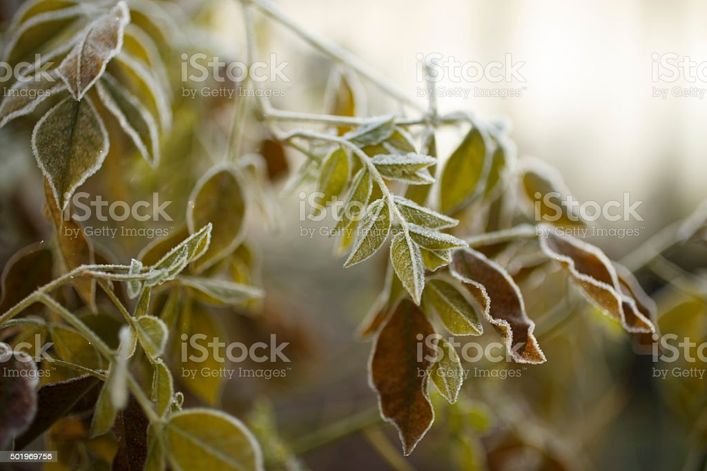 The icy leafs stock photo