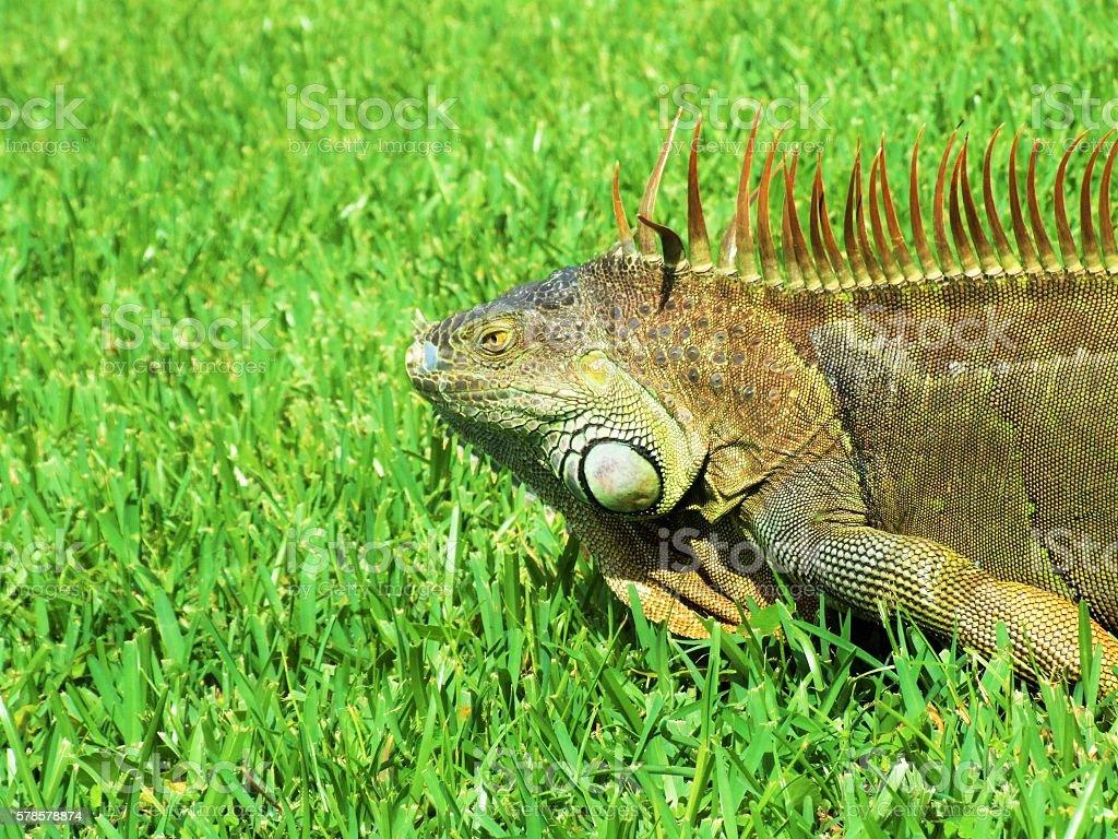 The Iguana stock photo