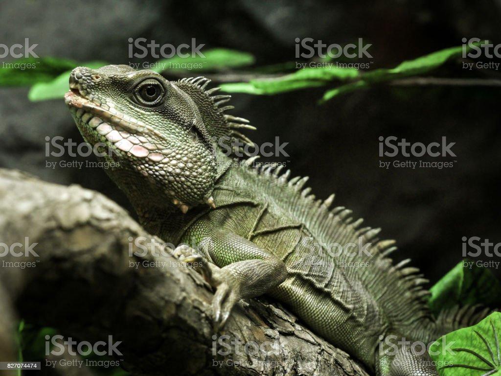 The iguana. stock photo