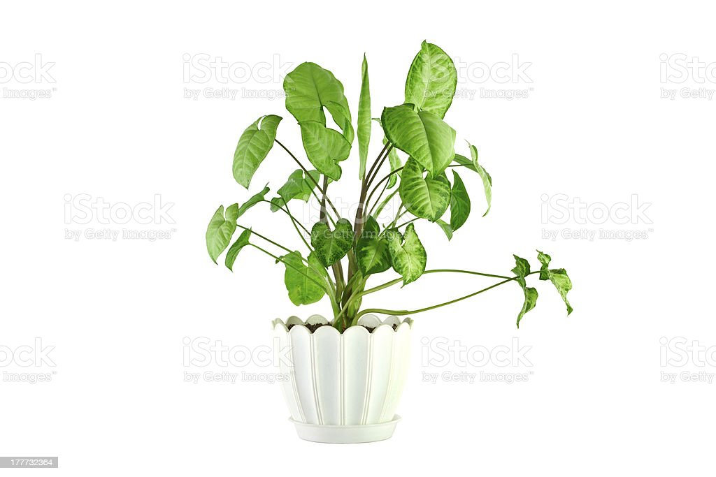the image  a flower in  pot  room  syngonium stock photo