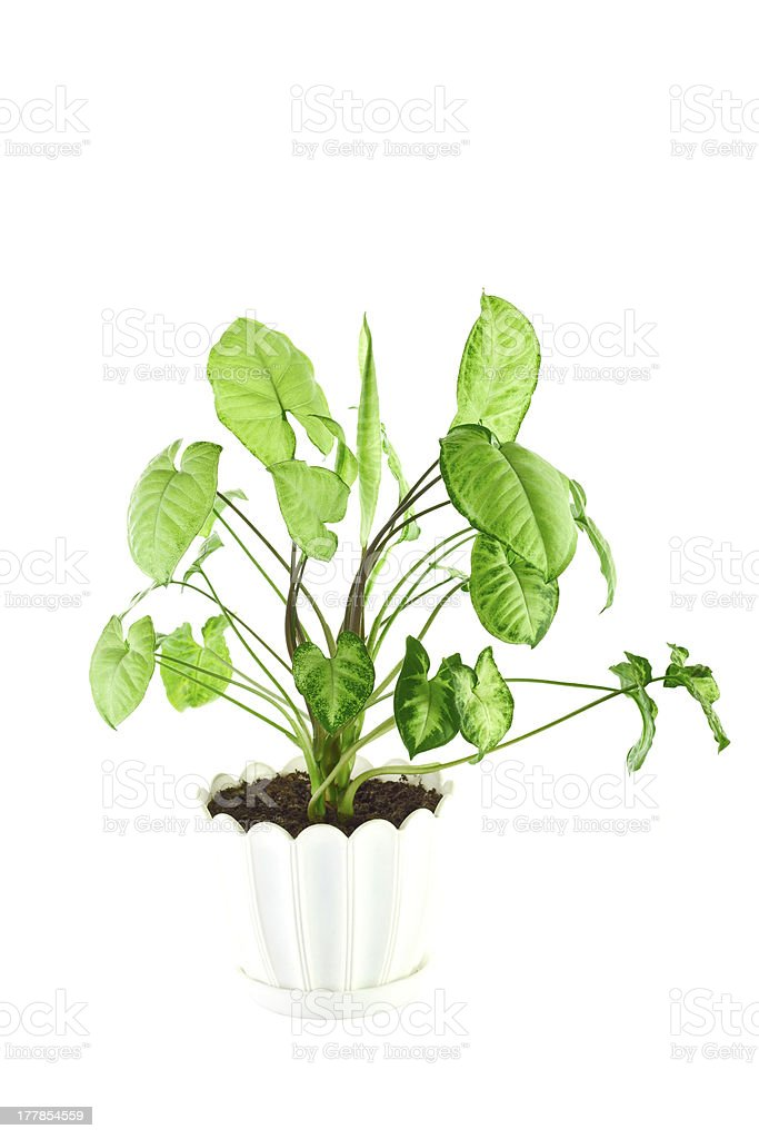 the image  flower in a pot of room  syngonium stock photo