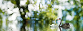 """image of two swans on the water.""""r""""nBeautiful white and black swans on a lake in rural areas,"""