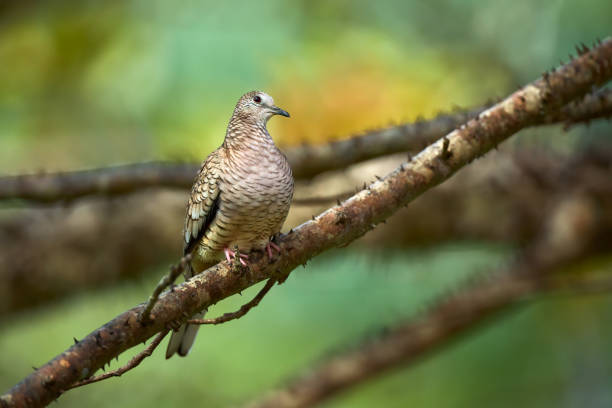 The Inca dove or Mexican dove (Columbina inca). A bird sitting on a branch in beautiful light. Wildlife scene from Costa Rica. stock photo
