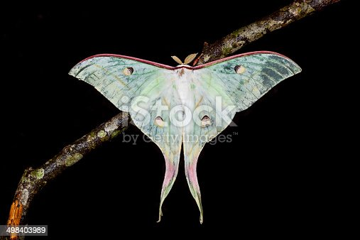 istock The Indian Moon Moth moth 498403989